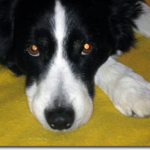 bett padgett's border collie